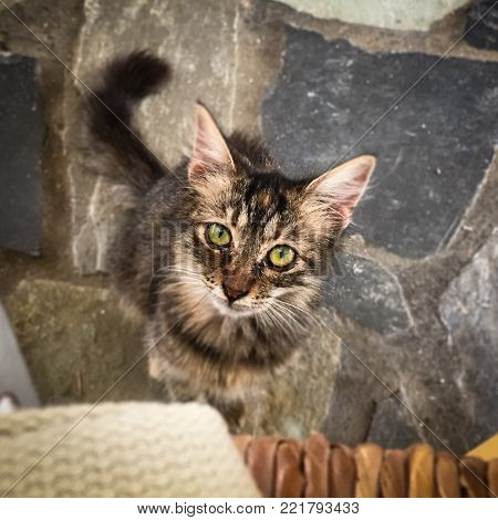 An adorably cute tabby kitten with beautiful green eyes looks up pleading for food or affection