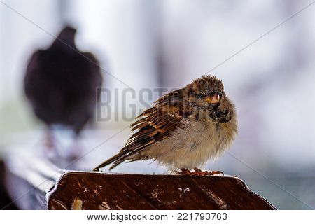 Sparrow looks at the frame and at the rear there is a large bird vague and incomprehensible, winter