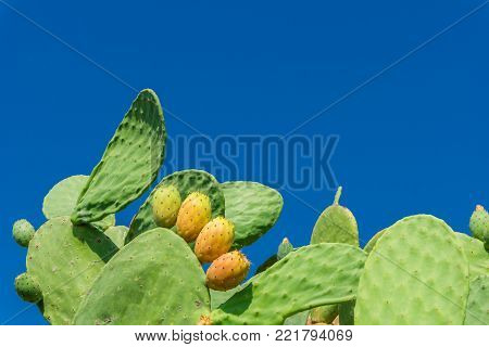 Close-up of a Big green Cactus Plant with prickley Pears in in Summer. View to a beautiful green Cactus Plant with tasty yellow prickley Pears on a sunny Day. Plant and Nature Background.