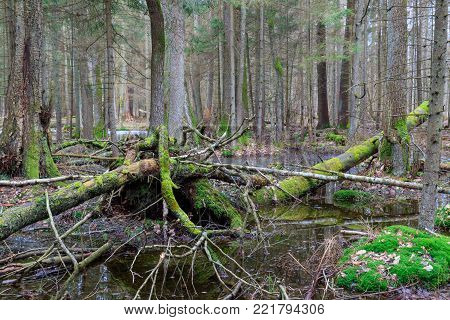 Springtime Wet Mixed Forest With Standing Water And Dead Trees Partly Declined, Bialowieza Forest, P