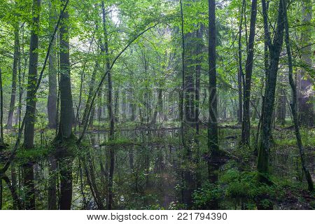 Summertime Sunrise In Wet Deciduous Stand With Broken Tree Lying And Standing Water, Bialowieza Fore