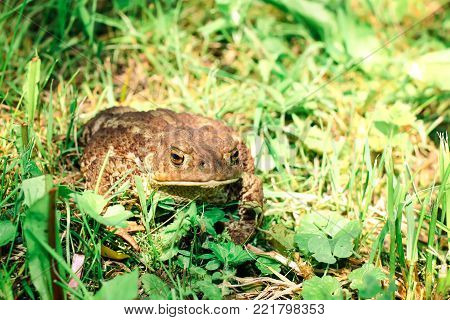 Brown toad on the ground in green grass