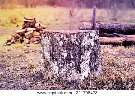 Stump of a birch felled by the beaver.