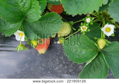 fresh strawberries on field in a day time