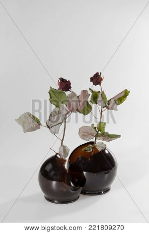 Two dark burgundy roses on long stems with leaves in round burgundy vases on a white background, a metaphor for dance and love.
