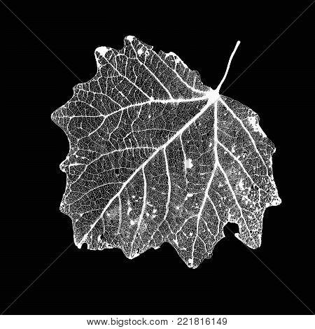 Vector Aspen Leaf Structure Skeletons with Veins