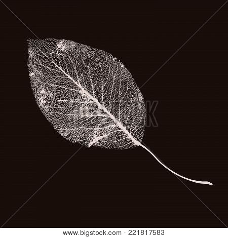 Vector Pear-tree Leaf Structure Skeletons with Veins