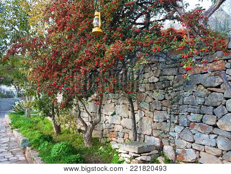 Beautiful red berries of mountain ash among the green foliage on the background of an old stone wall in the city of Alberobello. A green tree in winter in a garden in Italy.