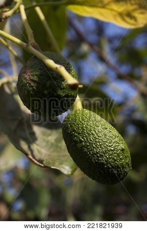 Haas avocado ripening on a tree in Florida