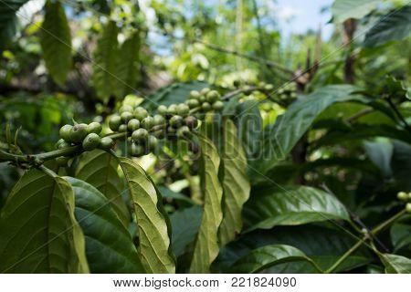 Close up coffee plants tree in plantation, Bali Indonesia