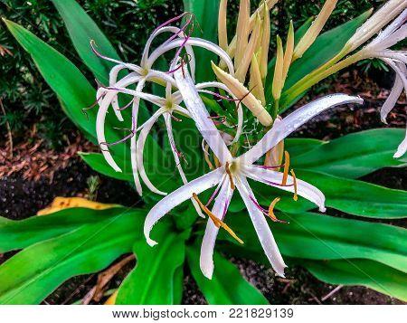 Giant White Spider Lily - Crinum Asiaticum (poison Bulb, Giant Crinum Lily, Grand Crinum Lily, Spide