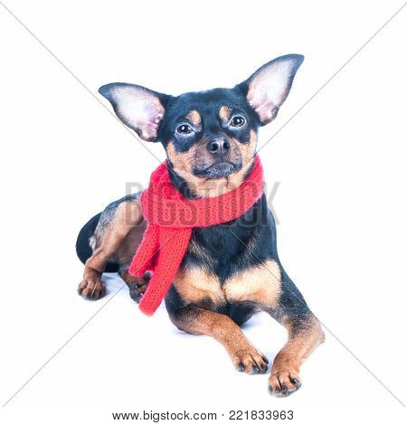 Funny dog in a knitted  scarf, portrait of a macro isolated. Autumn, winter, clothes for dogs.