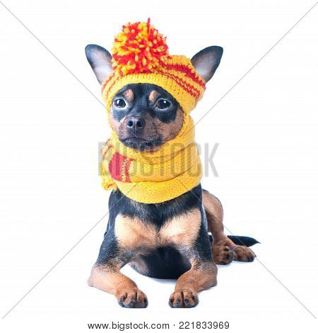 Funny dog in a knitted cap and scarf, portrait of a macro isolated. Autumn, winter, clothes for dogs.
