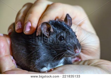 Portrait A domestic hand-held rat sitting on hands