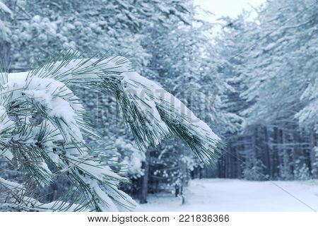 snow on the needles of pine tree in winter Etna Park, Sicily