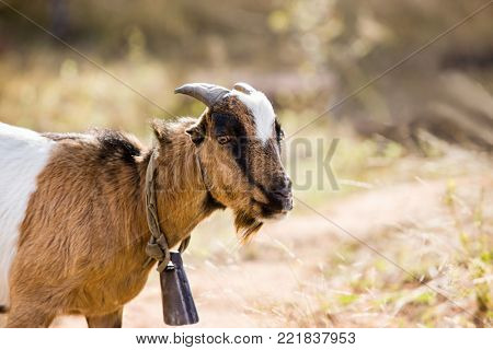 Typical African goat roaming freely in the Botswana bush