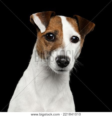 Cute Portrait of Jack Russel Terrier Dog bowed his head on Isolated Black Background