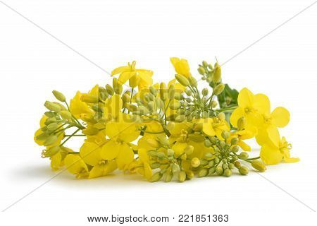Rapeseed (Brassica napus ) flowers isolated on white