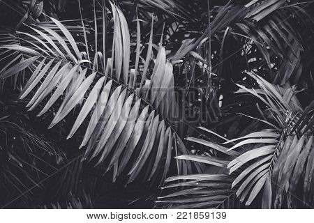 Low key Dark lighting Nature background, green leaves in natural light and shadow, symbolic of peaceful and safe the Earth or life or Zen with toned color and selective focus.Black and white tone.