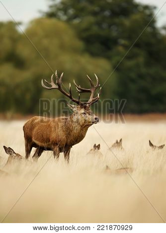 Red deer stag standing in the grass among a group of hinds. Rutting season in autumn, UK