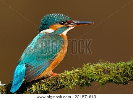 Close up of a Female Common kingfisher perching on a mossy perch, England, UK.