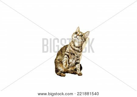 Housecat isolated on white. With dollar signs in the eyes. Conception: enrichment, profit, profit, transaction