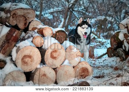 Beautiful Siberian husky looks out from behind the woodpile. Cute dog of black and white color with blue eyes walks in a wonderful winter forest.
