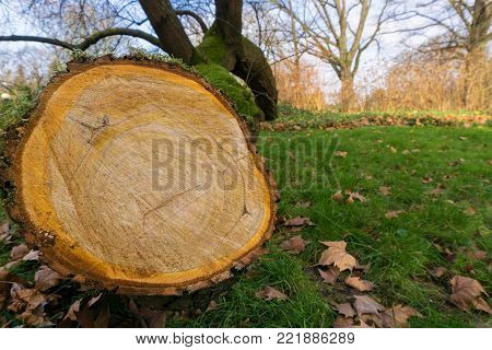 Close-up of Tree Rings of a Tree on a green Meadow. View to cut down Tree on a green Meadow. Natur and Season Background