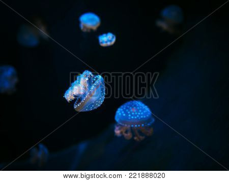 Beautiful colorful jellyfish in macro closeup shot swimming in aquarium with black background, smooth steady tracking camera shot, underwater wildlife natural beauty.