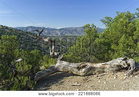 The fallen withered relic pine. Forest in the mountains in the vicinity of the village of Novy Svet, Crimea. A sunny day in early September.