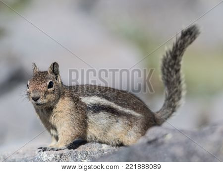 Small Ground Squirrel perched on stone with selective focus