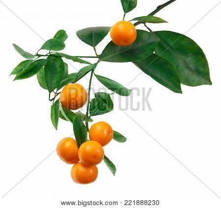 tangerines on branch isolated on white background. Mandarine tree. Citrus