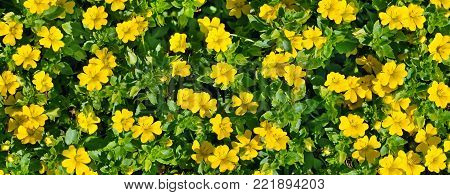 Beautiful background. Miniature yellow flowers on a summer flower bed. Wide photo.