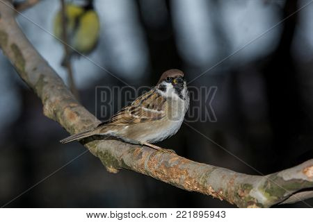 Beautiful little sparrow bird in natural background .Generally, sparrows are small, plump, brown-grey birds with short tails and stubby, powerful beaks