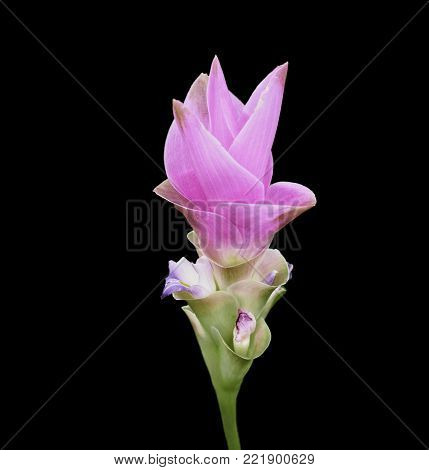 closed up Siam Tulip on the black background with clipping path