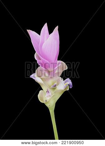 isolated Siam Tulip on the black background