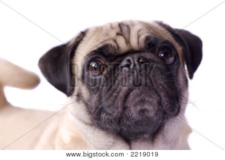 Curly Tailed Pug Dog