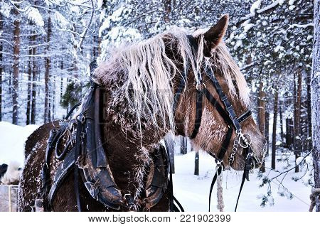 the north of Scandinavia market horse winter