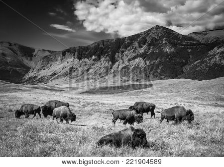 horizontal black and white image of a herd of buffalo roaming and grazing on the plains next to mountains