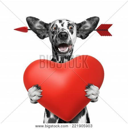 Cute dalmatian dog is falling in love on valentines day. Isolated on white background