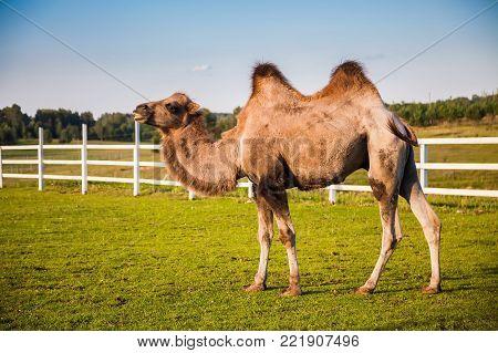 the camel walking on a grassy field