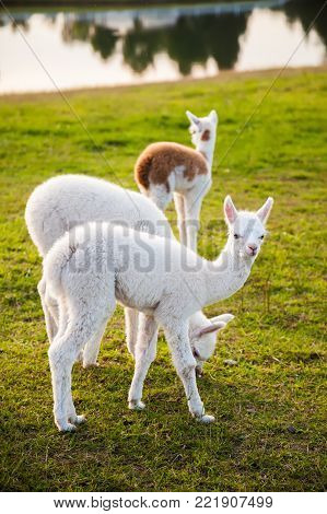 three cute white young alpacas walking in the field