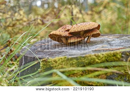 Group of beautiful orange wild mushrooms Armillaria grow on a stump in deciduous forest. Mushrooms on wooden background. Side view at eye level.