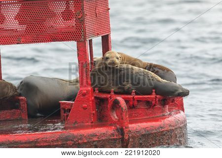 sea lion pup with his family on a red buoy