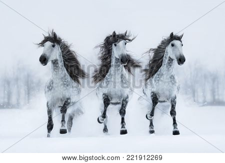 Herd of gray long-maned Spanish horses run gallop across snowy field. Horizontal outdoors image. Front view.