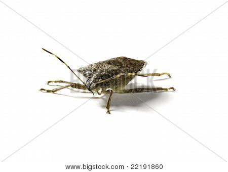 Stink Or Shield Bug In Macro Shot