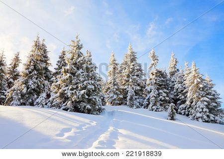 Spruce trees stand in snow swept mountain meadow under a blue winter sky. On the lawn covered with white snow there is a trampled path that lead to the dense forest in nice Christmas day.