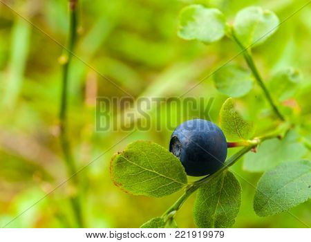 blueberry bush with a bilberry fruit in the forest. stock photo