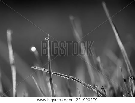 A drop of dew on the grass and a frosted grass frost. close-up. Black and white photo.