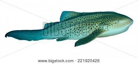 Leopard Shark (Zebra Shark) isolated on white background